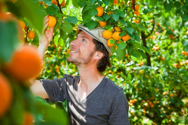 A man picking an apricot off an apricot tree