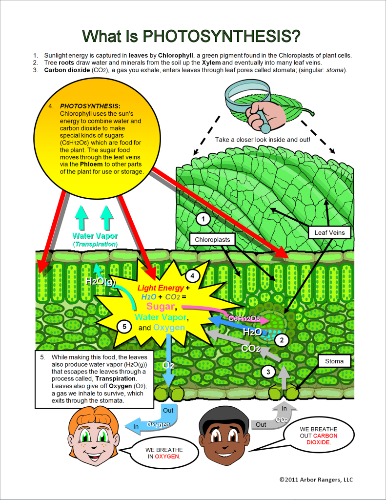 what is photosythesis Plants absorb sunlight and turn that energy into food the process is known as photosynthesis.