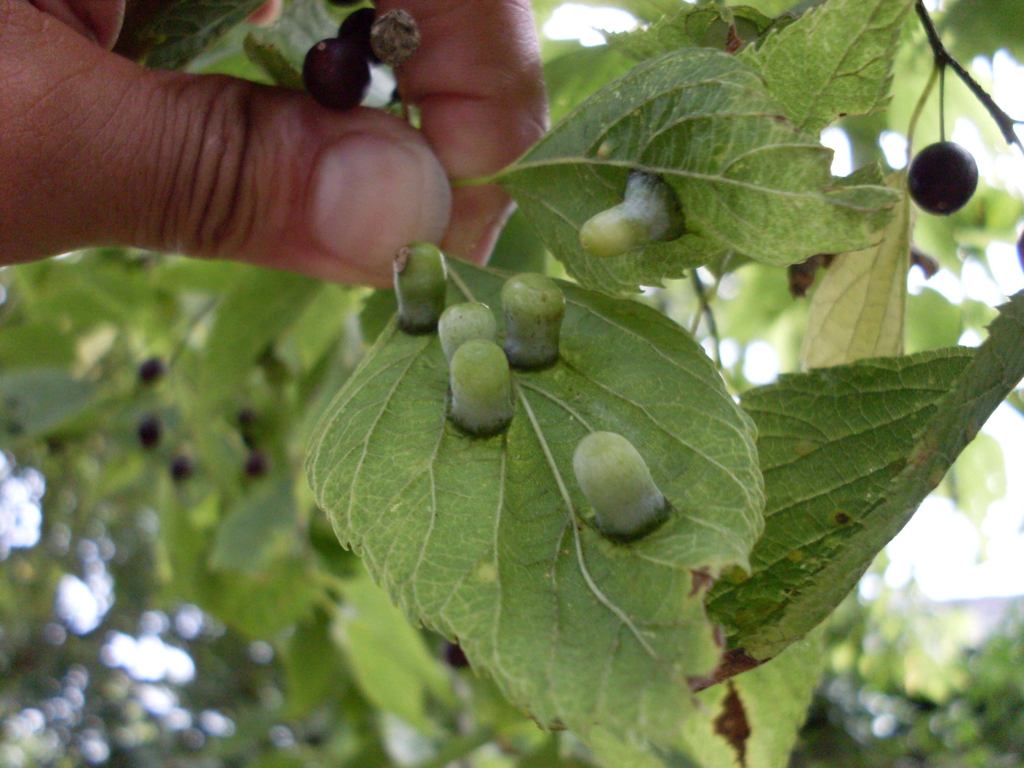 Nipple Galls on Hackberry Leaves