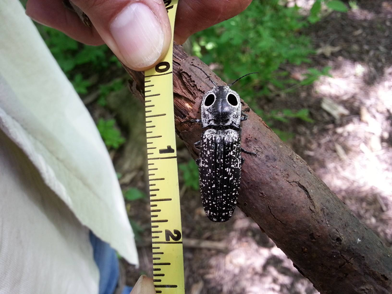 Giant Click Beetle