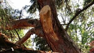 Bark-Stripped Pruning Injury