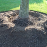 Air-spading reveals many girdling roots