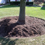Mulch is placed back around trunk, but off trunk/root flare
