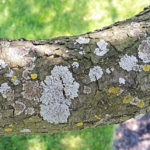 Lichens on American Crabapple