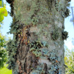 Lichens on Red Maple