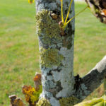 Lichens on Sugar Maple
