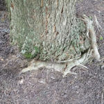 Red Maple with surface girdling roots