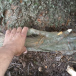 Another large girdling root is removed