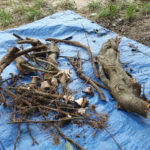 Girdling roots removed from Red Maple