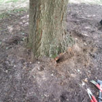 Red Maple trunk/root flare after surface girdling roots removed