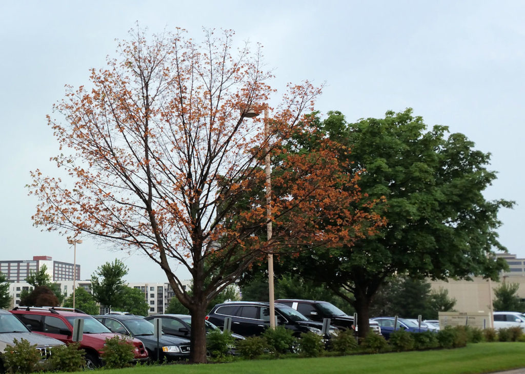 """Sudden death"" of Red Maple"