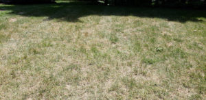 Drought-stressed lawn despite an irrigation system.