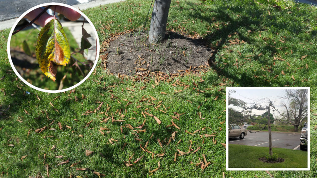Heat stress exacerbates Apple Scab infected Crabapple tree's leaf drop. Tree eventually dies.