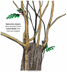 Epicormic shoots from latent buds as a result of tree topping.