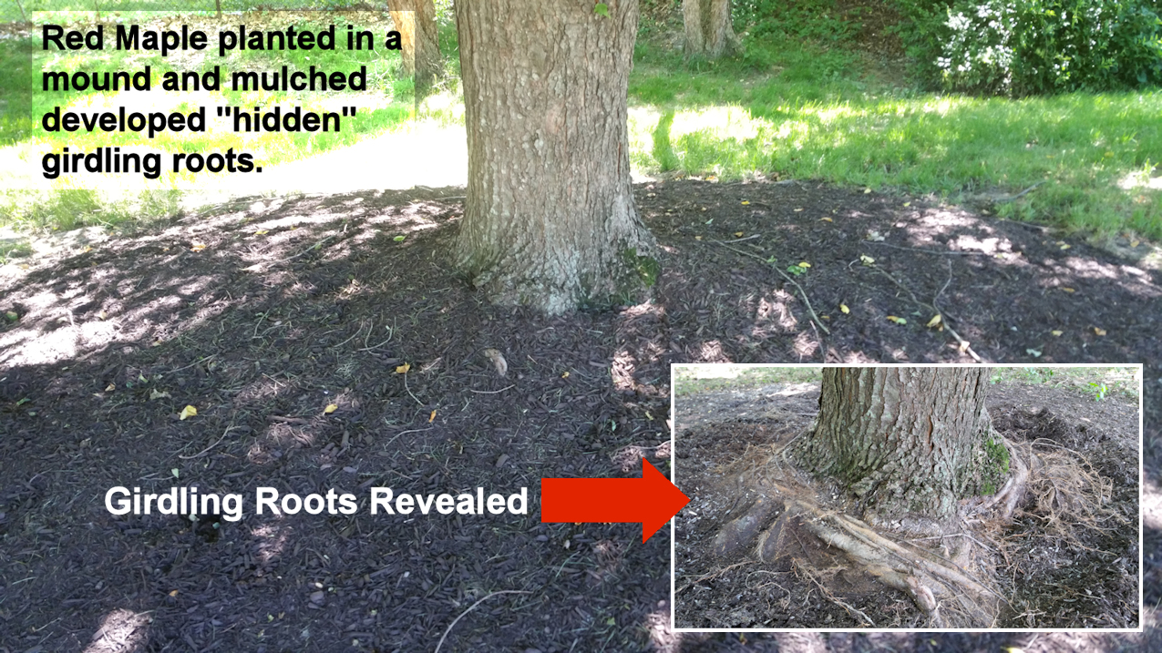 Red Maple With Girdling Roots
