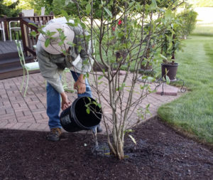 Watering a Magnolia Tree