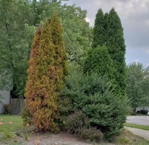 Heat-stressed Arborvitae